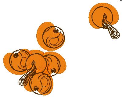 steelhead eggs